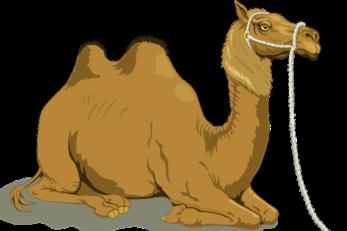 Ein Kamel hat im Gegensatz zum Dromedar zwei Höcker