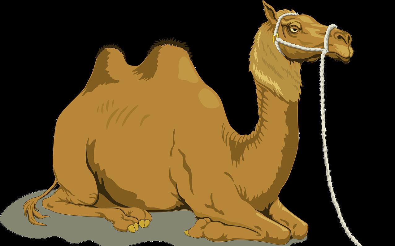 Warum Haben Kamele Höcker