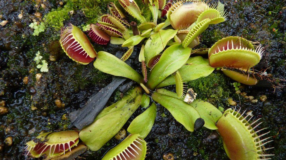 Fleischfressende Pflanzen können mitunter sehr exotisch aussehen