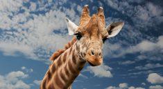 Giraffen haben einen langen Hals - warum das so ist, klären wir.
