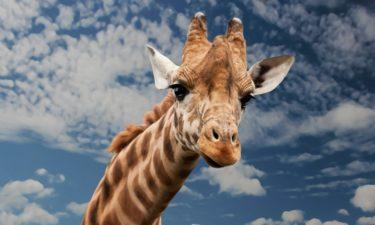 Wieso haben Giraffen einen langen Hals?