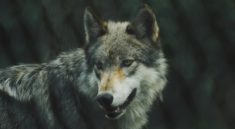 Wieso Wölfe beim Wolfsruf heulen erklärt
