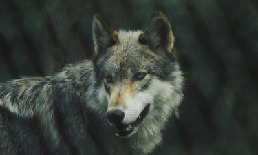 Was hat es mit dem Heulen der Wölfe auf sich?